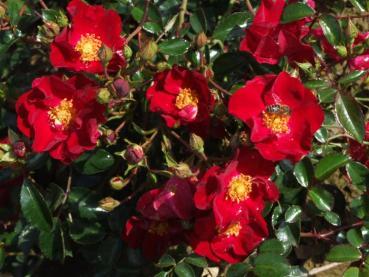 rosarot pflanzenversand rosen. Black Bedroom Furniture Sets. Home Design Ideas