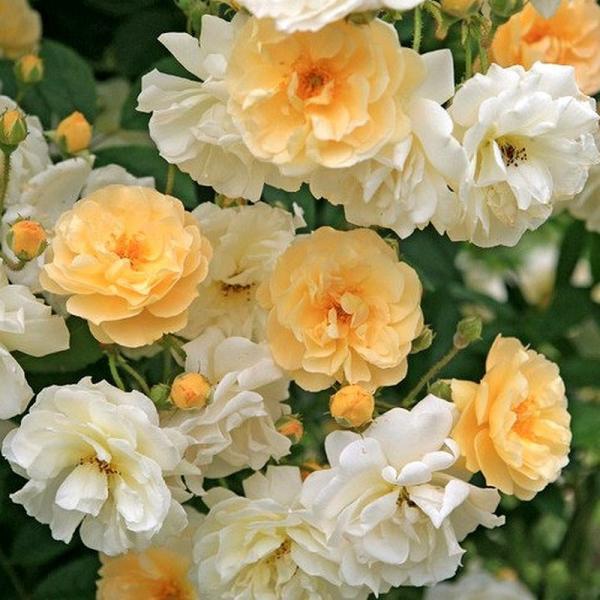 rosarot pflanzenversand christine h l ne rosa helenae s mling kletterrose container 7 liter. Black Bedroom Furniture Sets. Home Design Ideas
