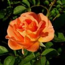 Orange Dawn®   Kletterrose Container 7 Liter